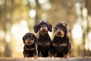 Wirehaired Dachshund Dogs