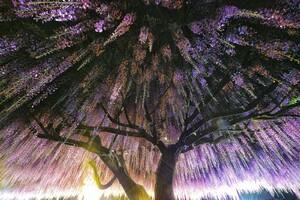 Wisteria Trees