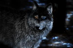 Wolf Heterochromia Fantasy