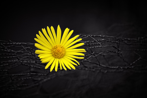Yellow Flower Fence Dark Black Background