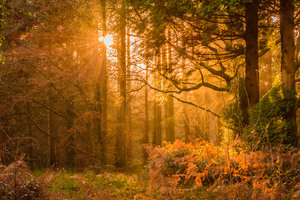 Yellow Sunset Rays In Forest