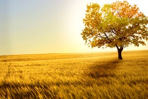 Yellow Tree In Yellow Field Wallpaper