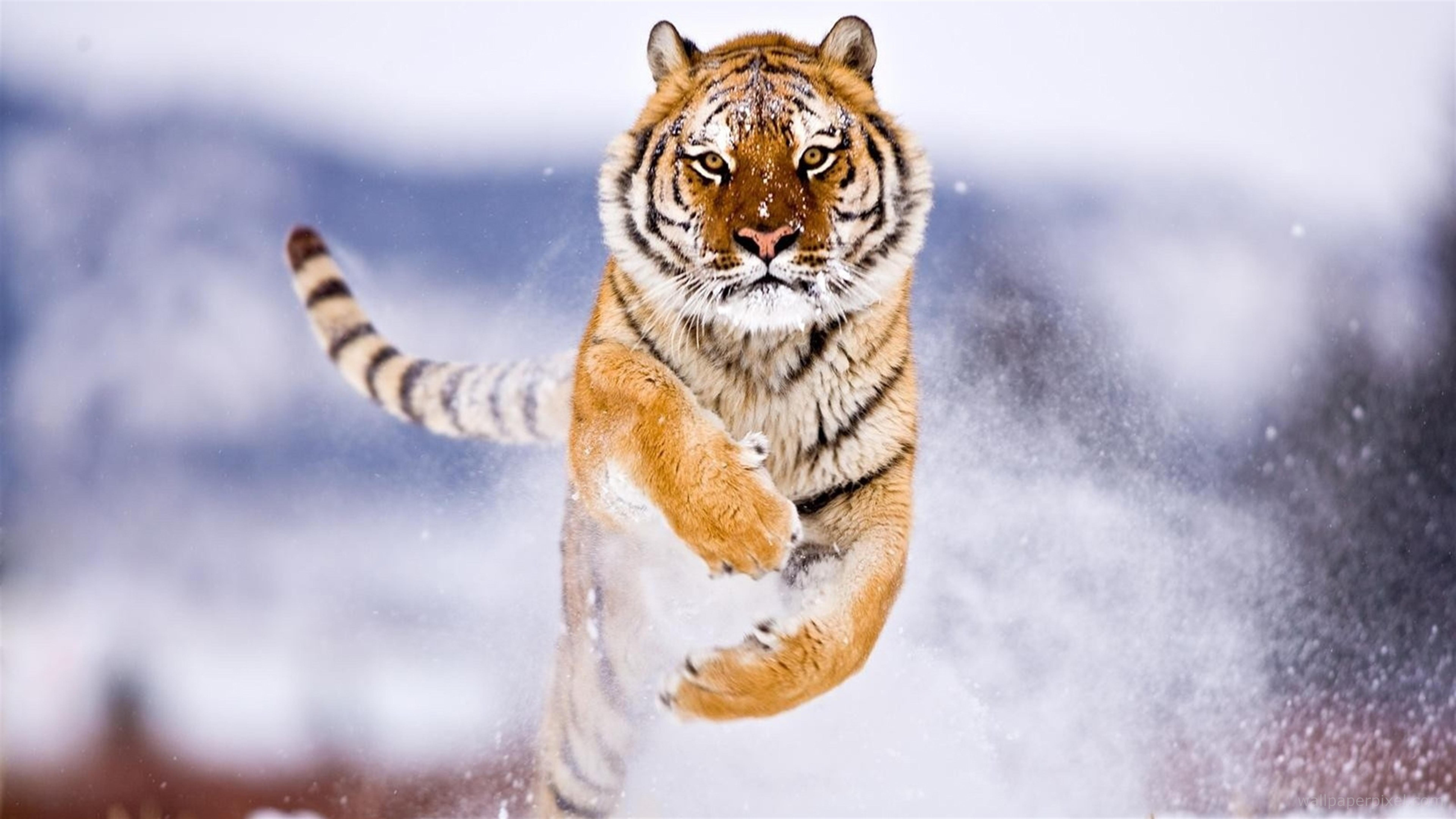 7680x4320 Tiger In Snow 8k Hd 4k Wallpapers Images Backgrounds Photos And Pictures