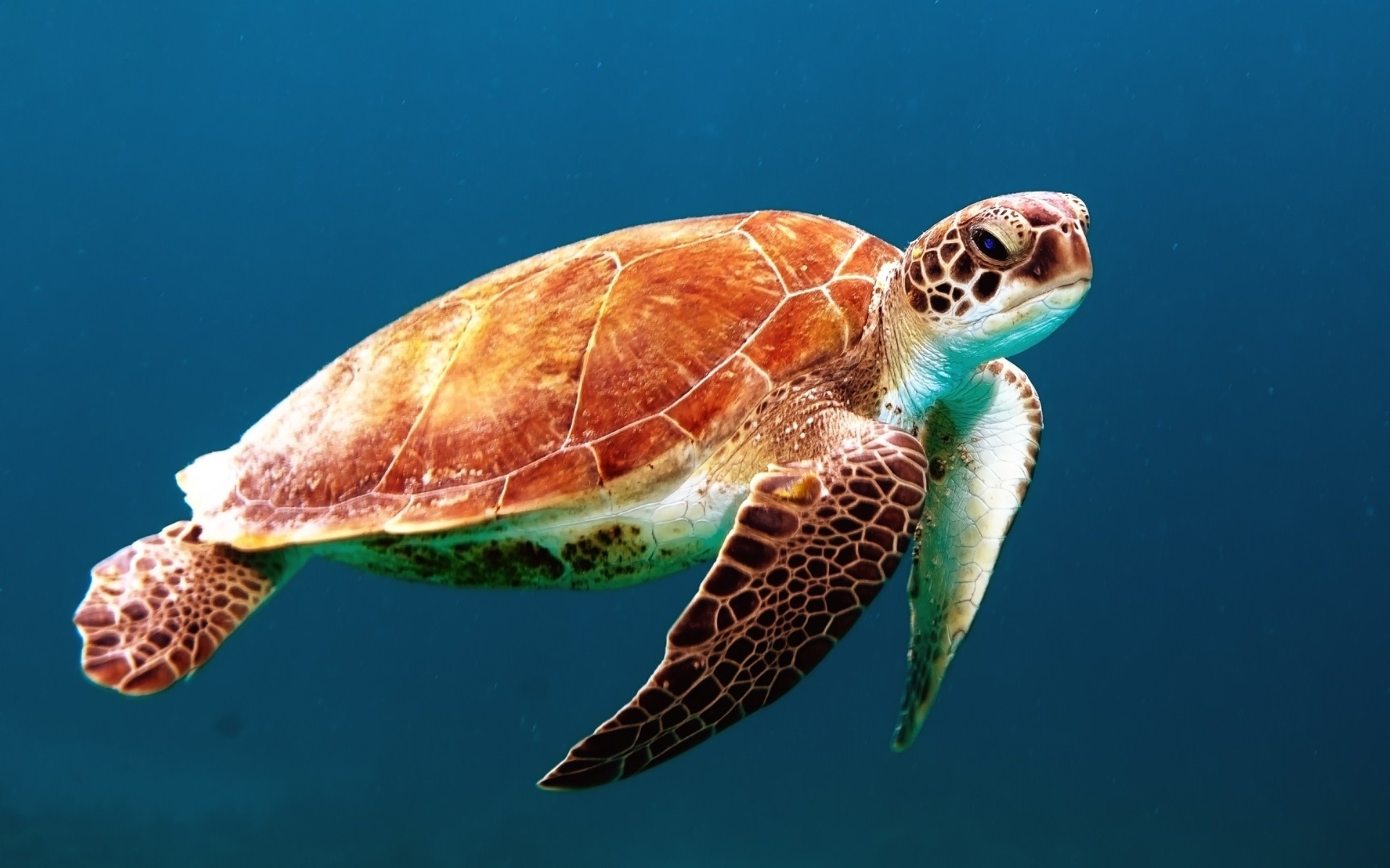 1920x1080 Turtle Reptile Underwater Laptop Full Hd 1080p Hd 4k Wallpapers Images Backgrounds Photos And Pictures