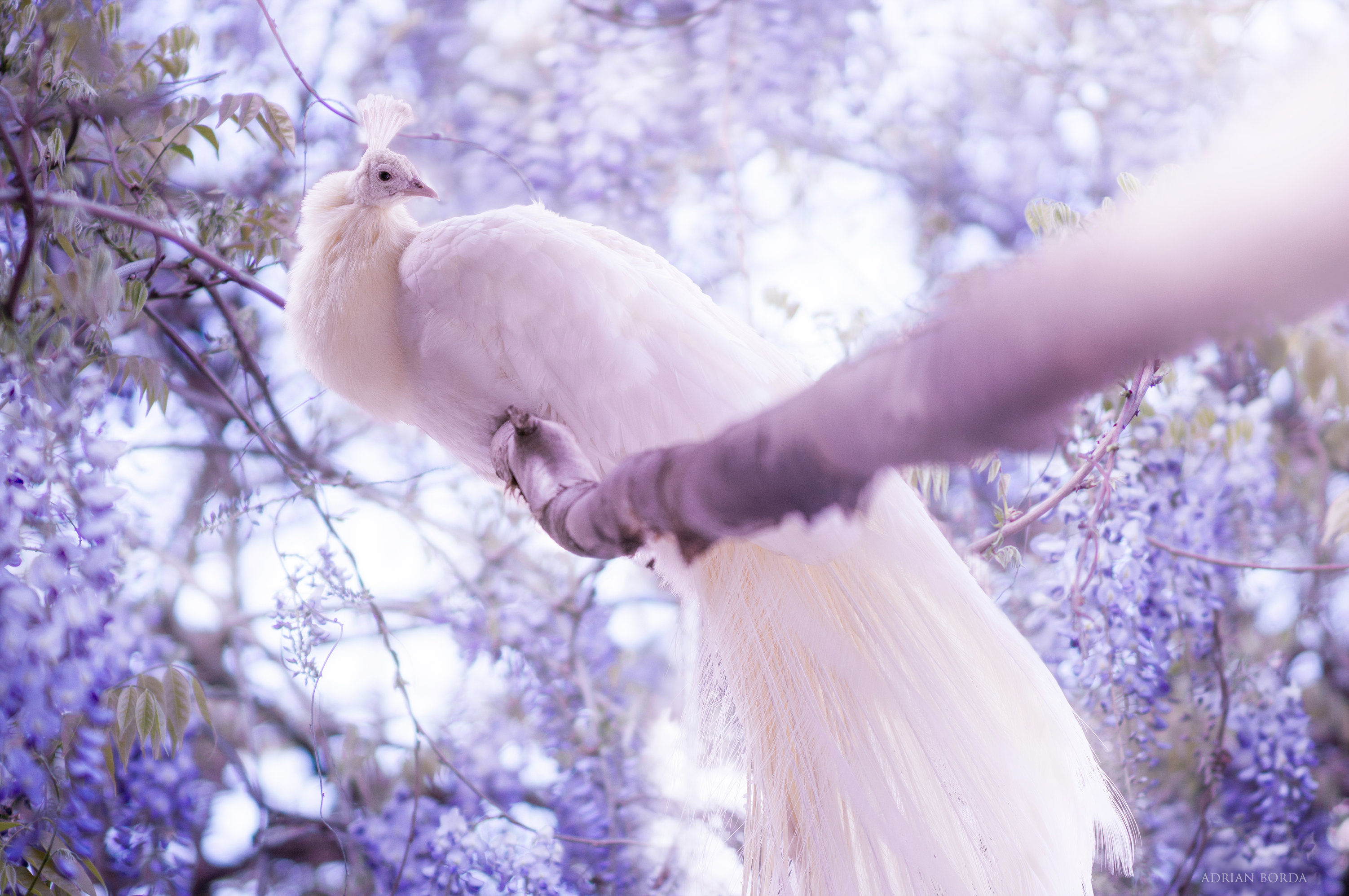 1920x1080 White Peacock Laptop Full Hd 1080p Hd 4k Wallpapers Images Backgrounds Photos And Pictures