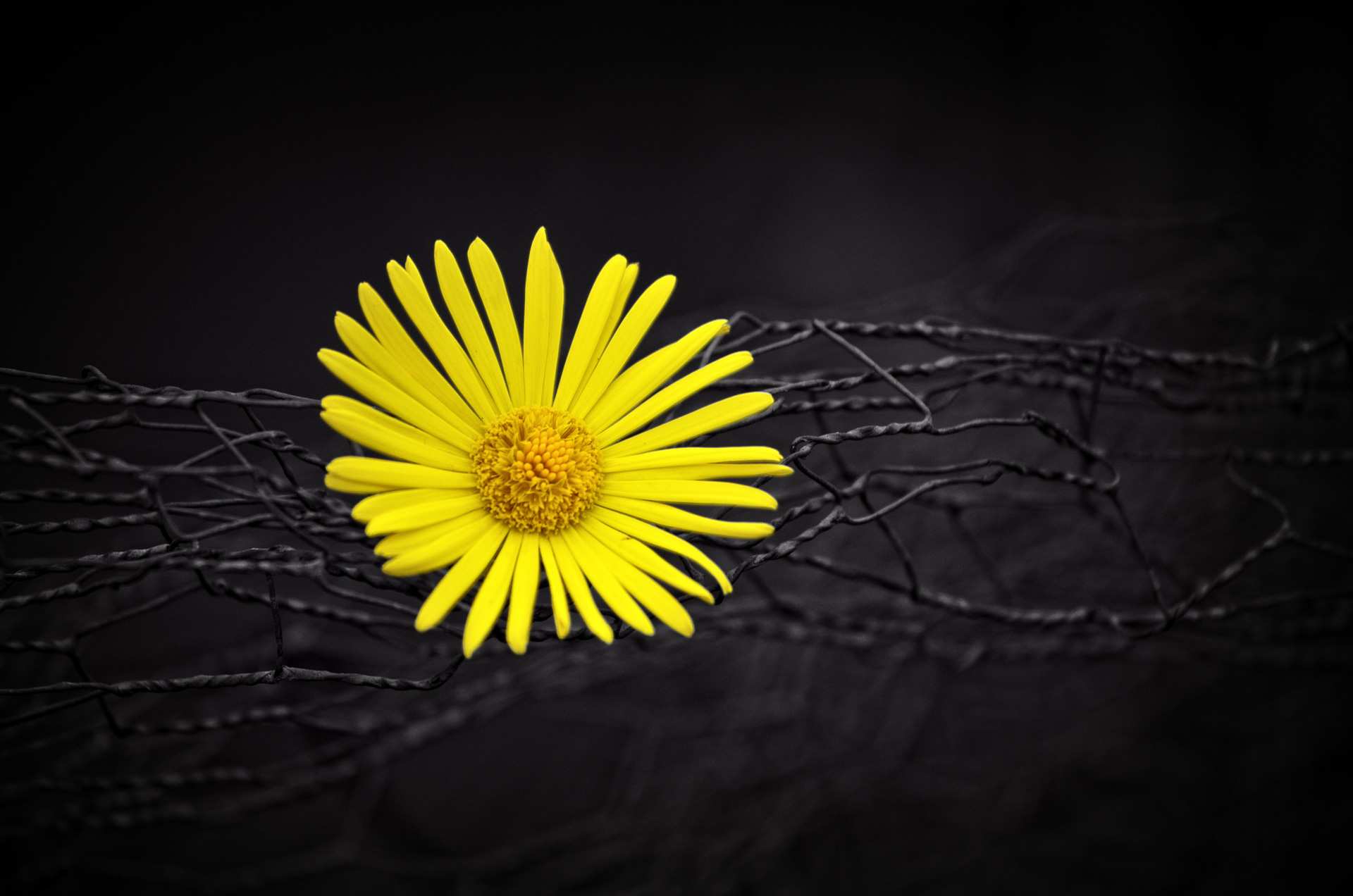 yellow flower fence dark black background hd flowers 4k wallpapers images backgrounds photos and pictures yellow flower fence dark black