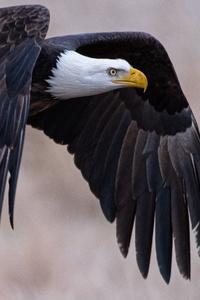 480x800 4k Bald Eagle
