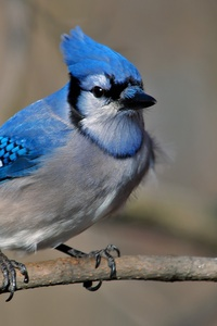 4k Blue Jay