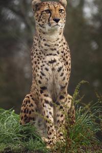 2160x3840 4k Cheetah Wild