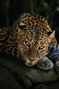 800x1280 4k Leopard