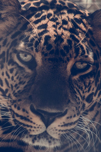 720x1280 5k Leopard