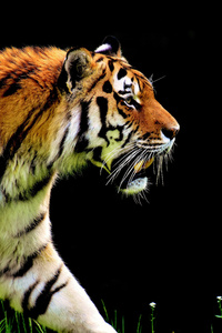 5k Tiger Predator
