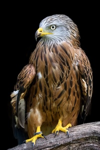 Adler Raptor Bird