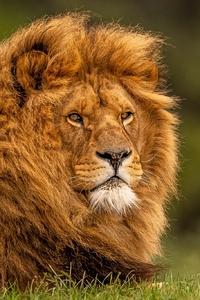 1125x2436 Adult Lion