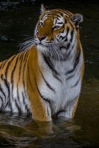 2160x3840 Adult Tiger 4k