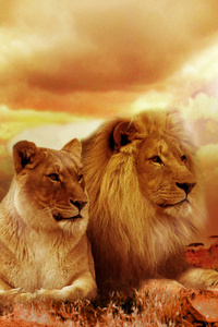 320x480 African Lion And Lioness