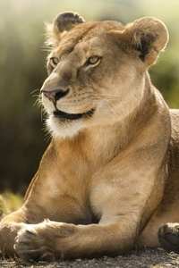 African Lion Hd