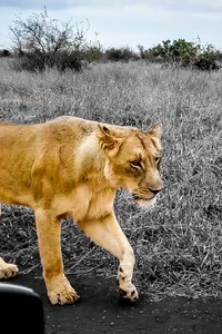 360x640 African Lion Hdr