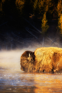 720x1280 American Bison