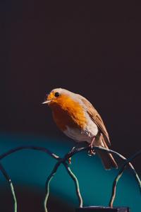 320x568 American Robin Bird 5k