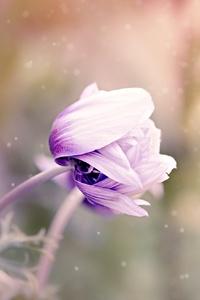 1080x2280 Anemone Flower Violet White Blossom