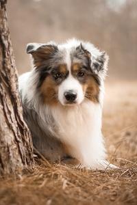 1280x2120 Australian Shepherd Dog