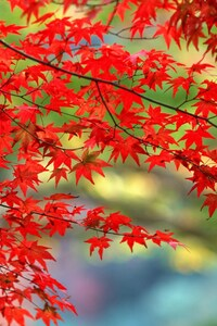 480x854 Autumn Leaves