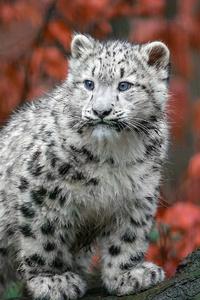 320x568 Baby Snow Leopard 4k