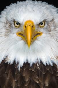 Bald Eagle 8k