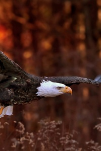 1242x2688 Bald Eagle Flight