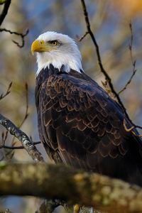 640x1136 Bald Eagle Hawk 4k