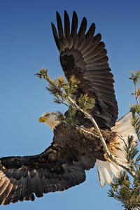 240x320 Bald Eagle Open Wings