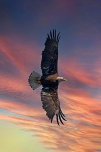 640x960 Bald Eagle Open Wings Sky 5k