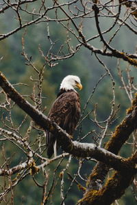 240x400 Bald Eagle Sitting On Branch 4k