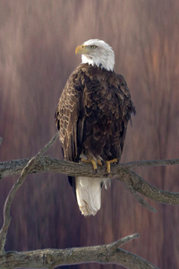 640x960 Bald Eagle Sitting On Branch 5k