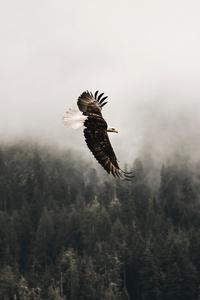1440x2560 Bald Eagle Sky 5k