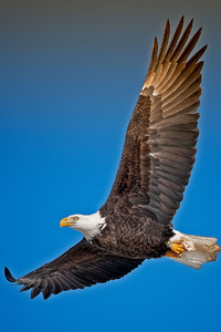 1440x2560 Bald Eagle Sky