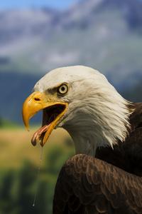 320x480 Bald Hawk 4k