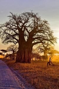 1242x2688 Baobab Tree