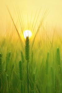 Barley Field 4k
