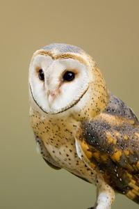 800x1280 Barn Owl