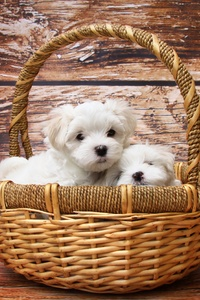 800x1280 Basket Of Puppies