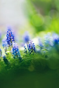 1440x2960 Beautiful Muscari Flowers