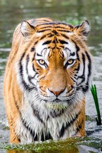 Bengali Tiger 4k