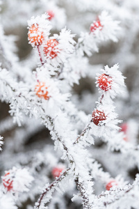 Berry Branches Frost Winter 5k