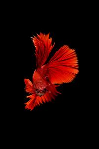 2160x3840 Betta Fish