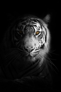 320x480 Big Cat Tiger 4k