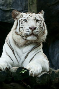 1280x2120 Big White Tiger Hd
