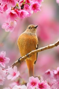 1242x2688 Bird Sitting On Cherry Blossom Tree 4k