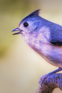 480x800 Black Crested Titmouse